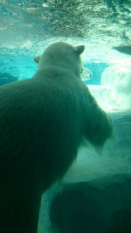 上野動物園 水中で泳ぐ白熊